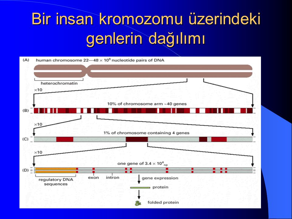 Bir insan kromozomu üzerindeki genlerin dağılımı
