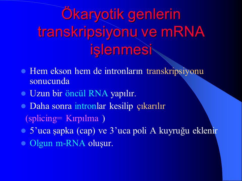 Ökaryotik genlerin transkripsiyonu ve mRNA işlenmesi