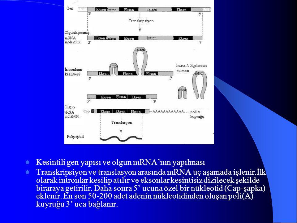 Kesintili gen yapısı ve olgun mRNA'nın yapılması