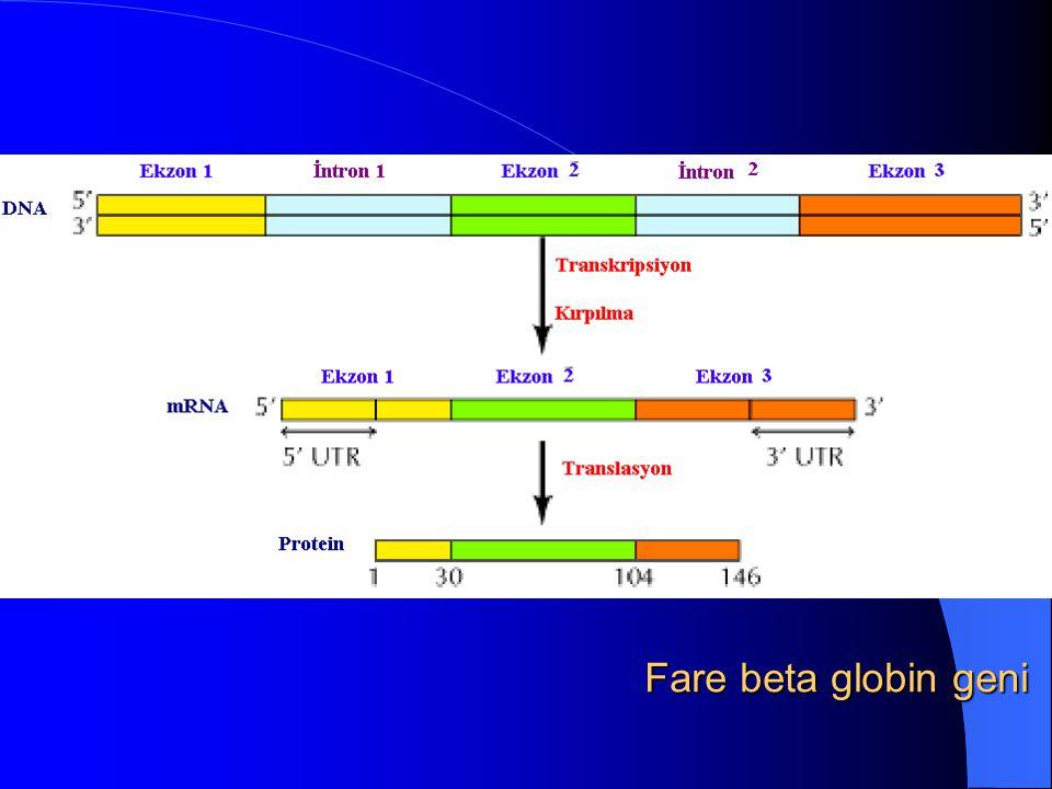 Fare beta globin geni