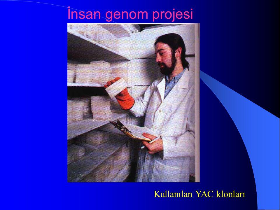 Kullanılan YAC klonları