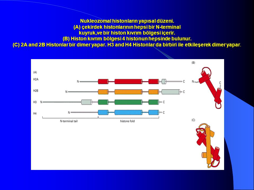 Nukleozomal histonların yapısal düzeni