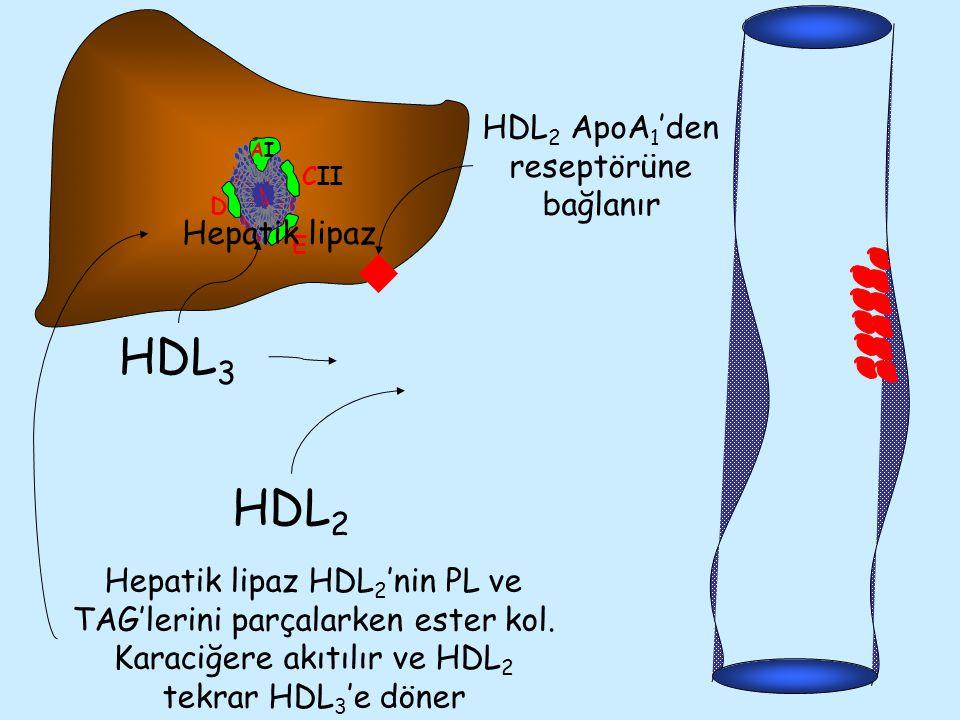 HDL2 ApoA1'den reseptörüne bağlanır