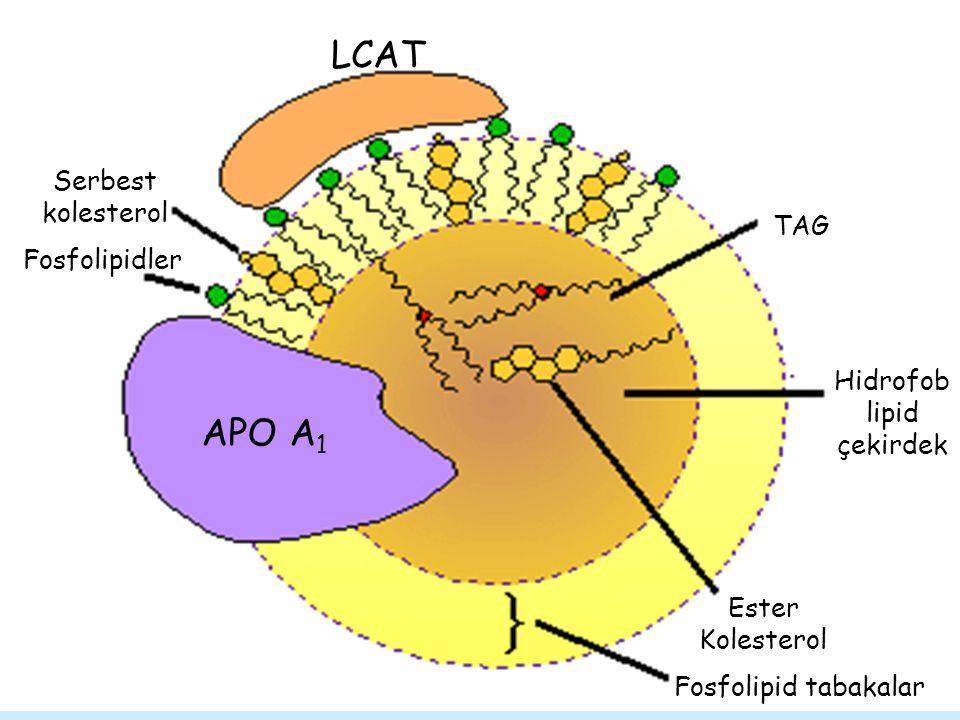 Hidrofob lipid çekirdek