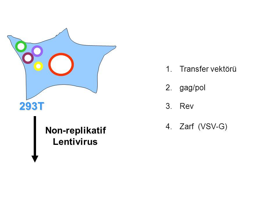 293T Non-replikatif Lentivirus Transfer vektörü gag/pol Rev