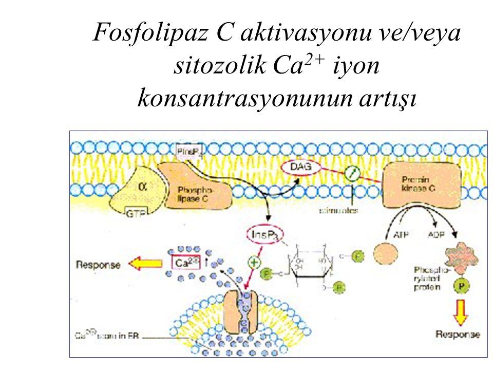 Fosfolipaz C aktivasyonu ve/veya sitozolik Ca2+ iyon konsantrasyonunun artışı