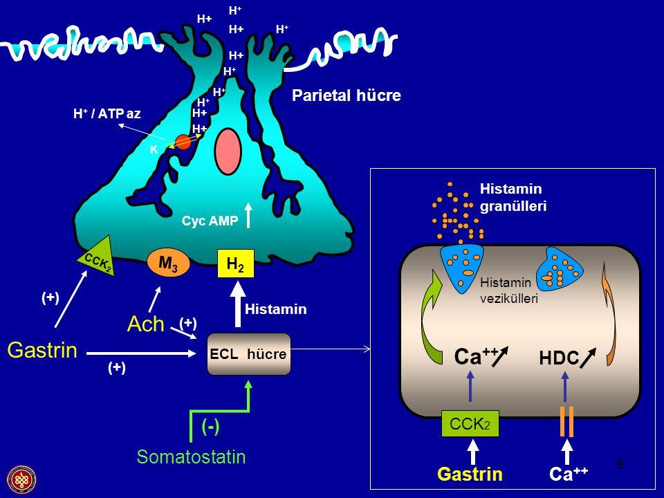 Ach Gastrin Ca++ HDC (-) Somatostatin Gastrin Ca++ Parietal hücre M3