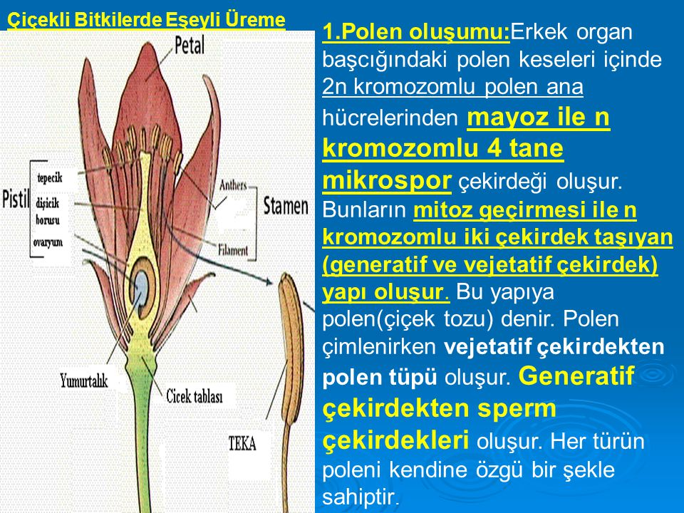 Çiçekli Bitkilerde Eşeyli Üreme