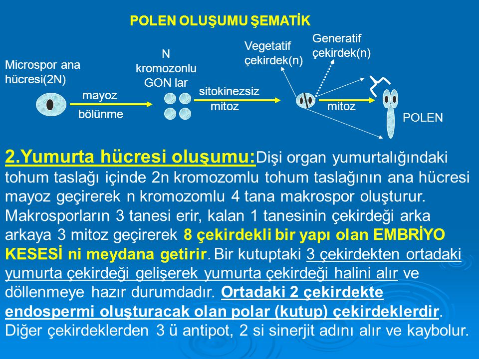 POLEN OLUŞUMU ŞEMATİK Generatif çekirdek(n) Vegetatif çekirdek(n) N kromozonlu GON lar. Microspor ana hücresi(2N)