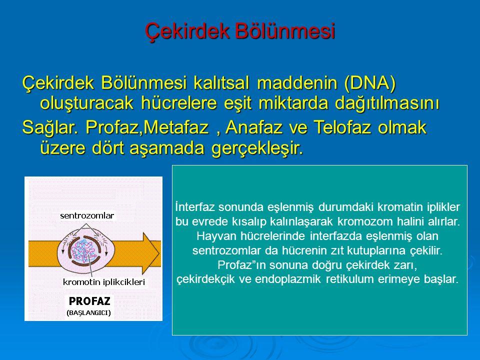 Çekirdek Bölünmesi Çekirdek Bölünmesi kalıtsal maddenin (DNA) oluşturacak hücrelere eşit miktarda dağıtılmasını.
