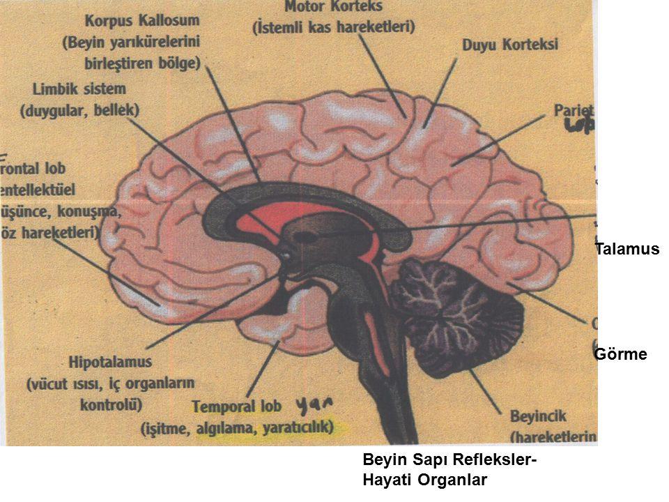 Talamus Görme Beyin Sapı Refleksler-Hayati Organlar