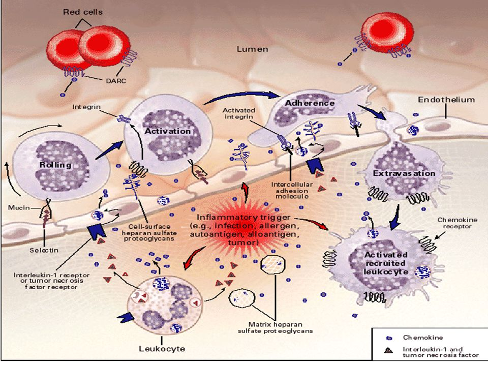 A. and B. At or near sites of inflammation or tissue injury, L-selectin–positive lymphocytes interact with glyCAM-1 on vascular endothelial cells. This