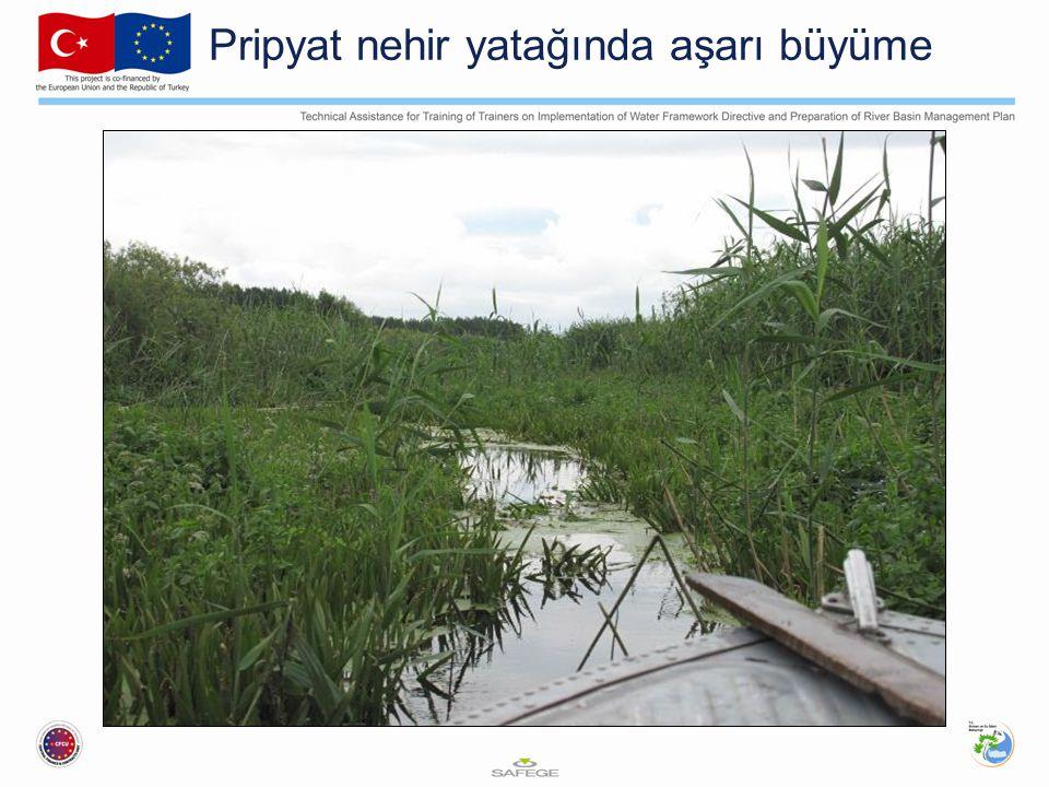 Pripyat nehir yatağında aşarı büyüme