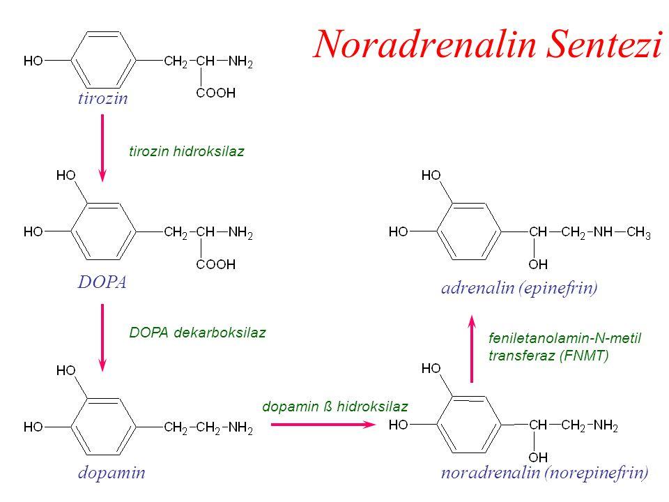 Noradrenalin Sentezi tirozin DOPA adrenalin (epinefrin) dopamin