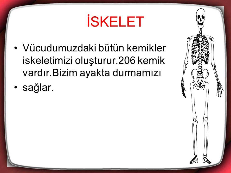 İSKELET Vücudumuzdaki bütün kemikler iskeletimizi oluşturur.206 kemik vardır.Bizim ayakta durmamızı.