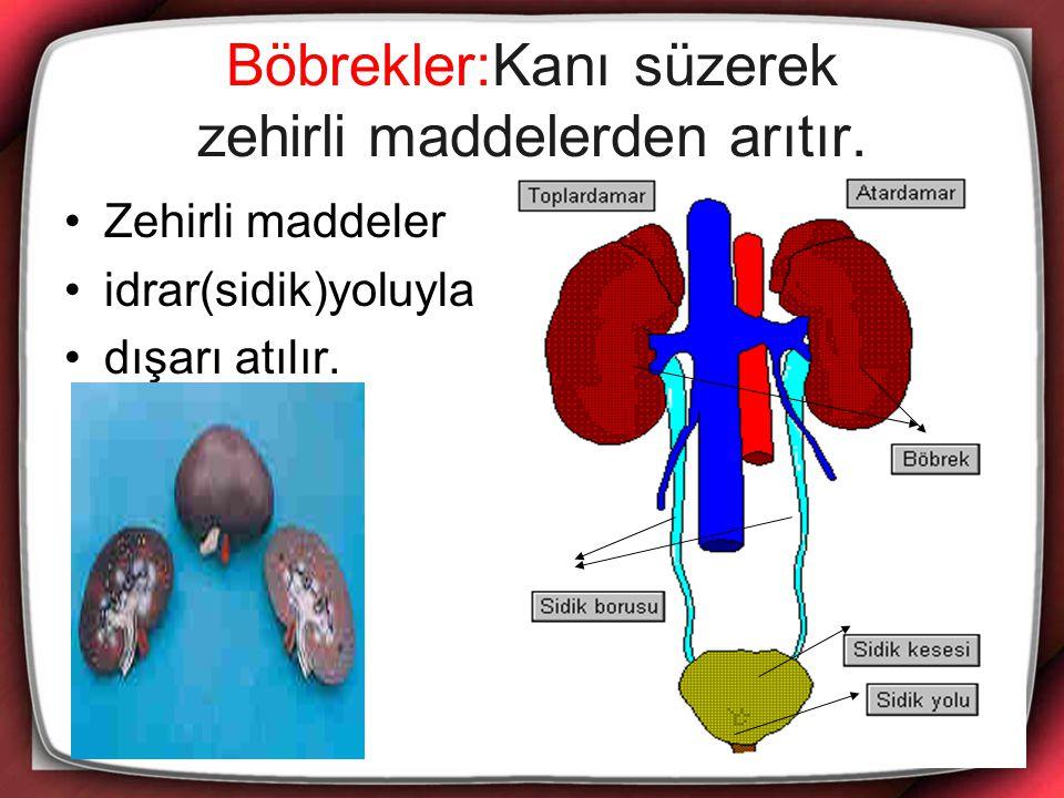 Böbrekler:Kanı süzerek zehirli maddelerden arıtır.