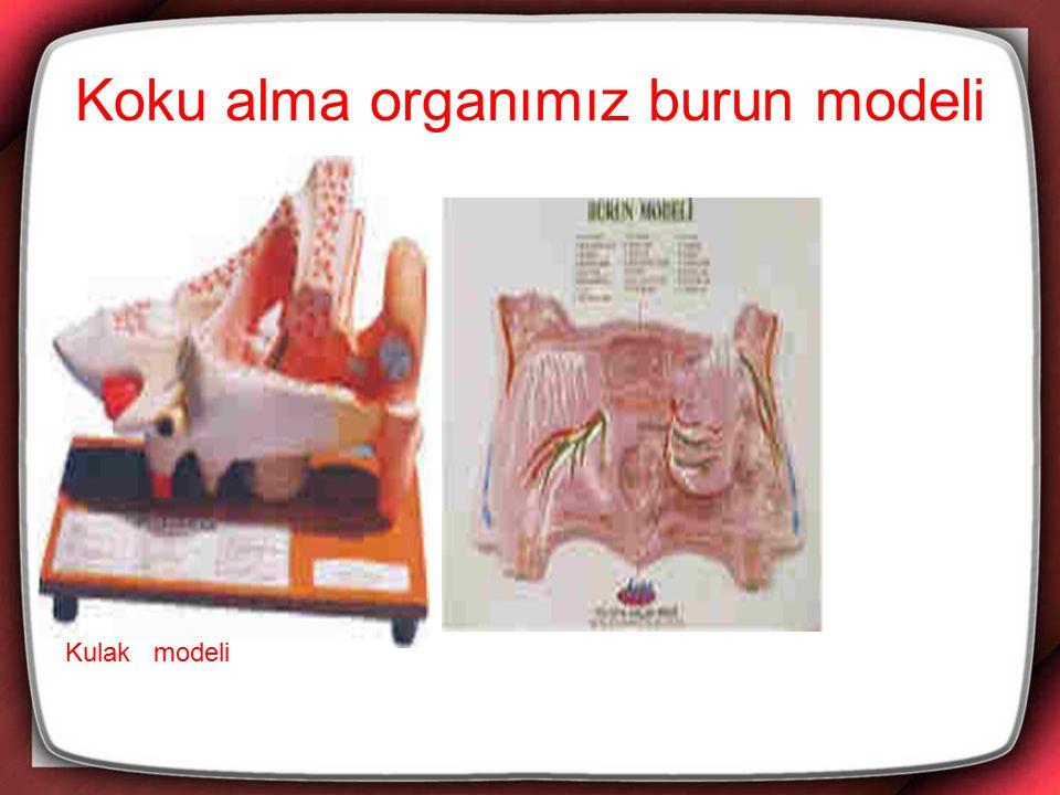 Koku alma organımız burun modeli