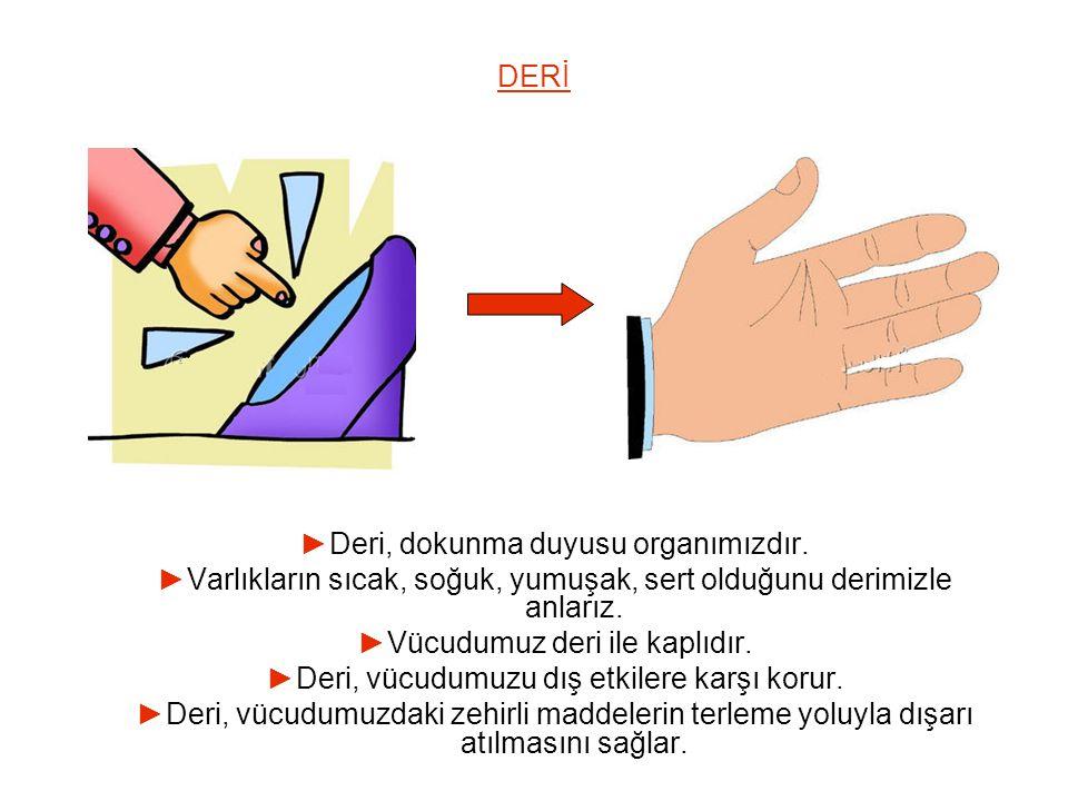 ►Deri, dokunma duyusu organımızdır.