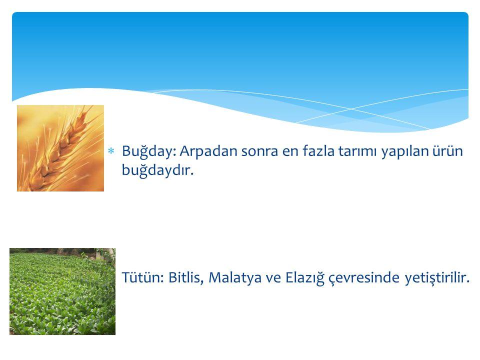 Buğday: Arpadan sonra en fazla tarımı yapılan ürün buğdaydır.