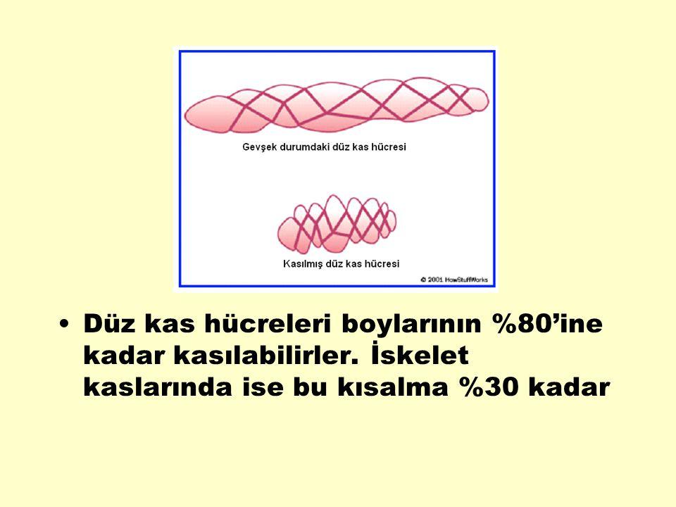 Düz kas hücreleri boylarının %80'ine kadar kasılabilirler