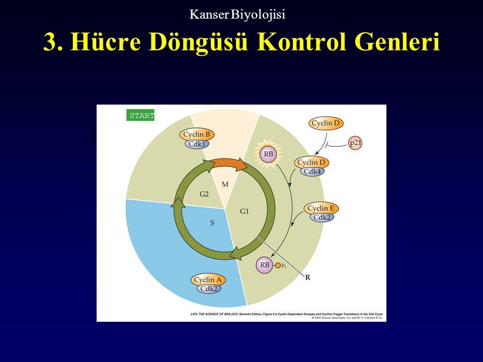 3. Hücre Döngüsü Kontrol Genleri