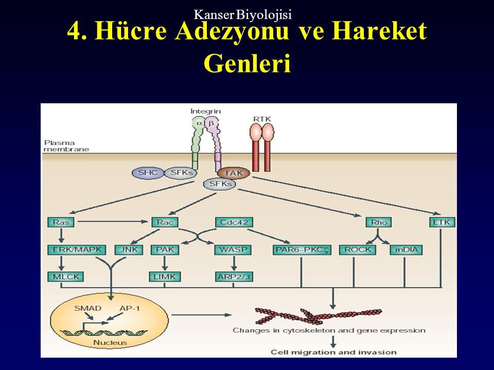 4. Hücre Adezyonu ve Hareket Genleri