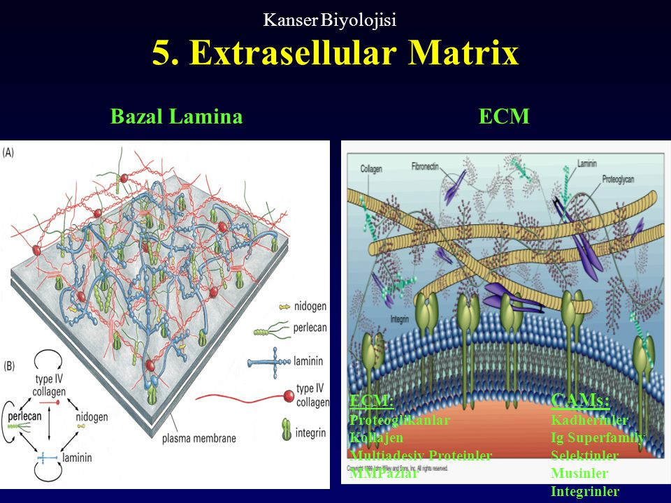 5. Extrasellular Matrix Bazal Lamina ECM Kanser Biyolojisi