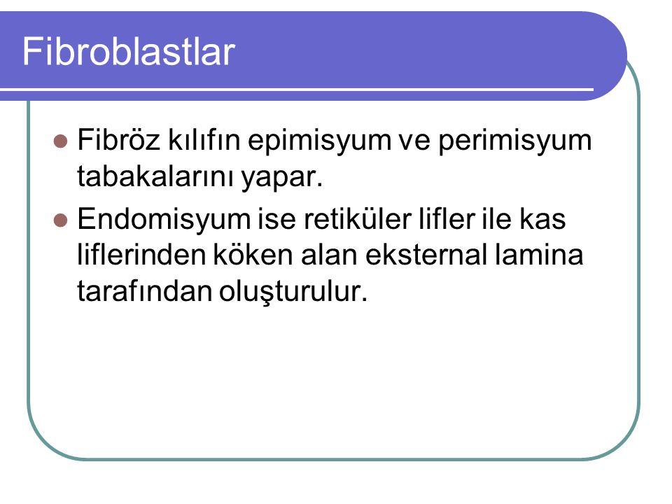 Fibroblastlar Fibröz kılıfın epimisyum ve perimisyum tabakalarını yapar.