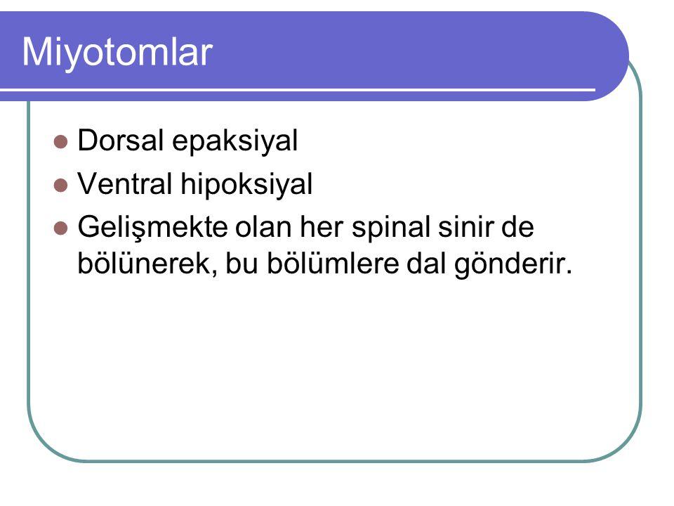 Miyotomlar Dorsal epaksiyal Ventral hipoksiyal