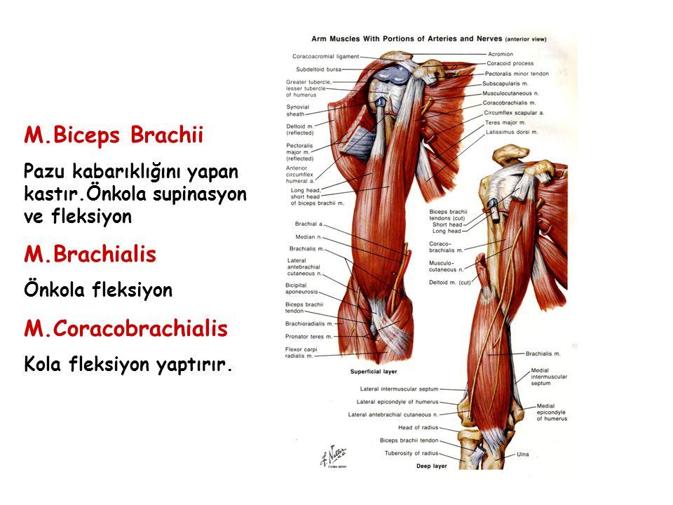 M.Biceps Brachii M.Brachialis M.Coracobrachialis