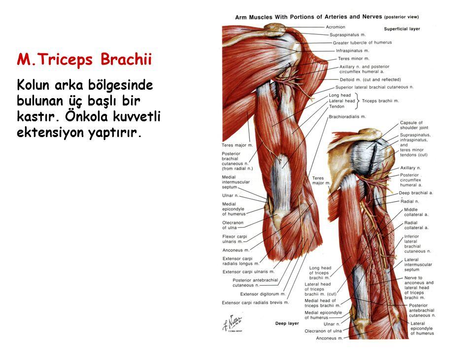 M.Triceps Brachii Kolun arka bölgesinde bulunan üç başlı bir kastır.