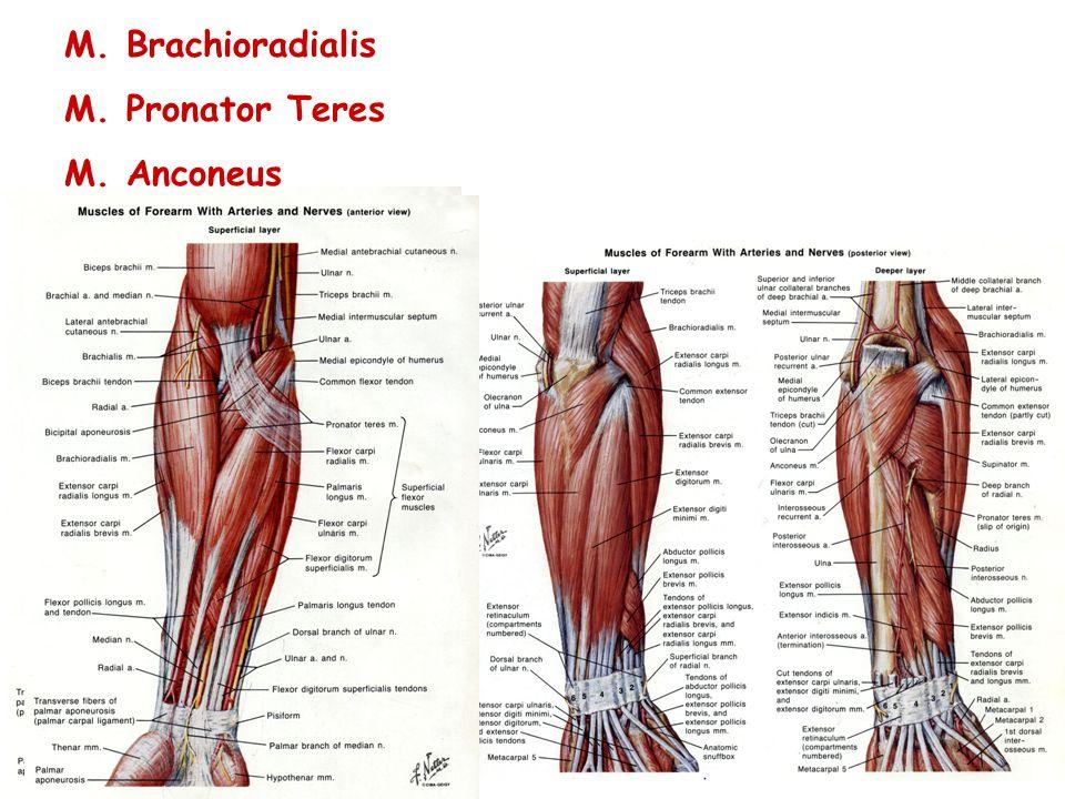 M. Brachioradialis M. Pronator Teres M. Anconeus