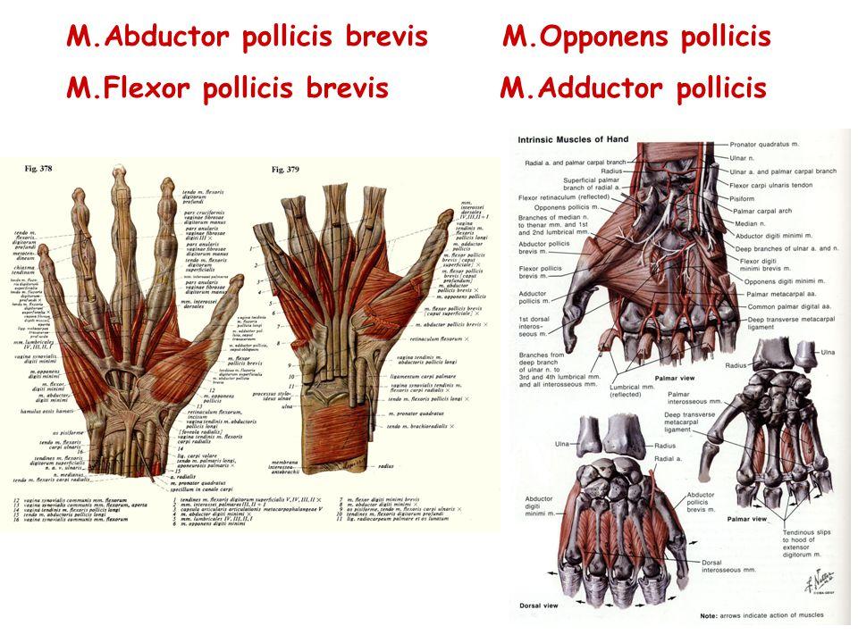 M.Abductor pollicis brevis M.Opponens pollicis