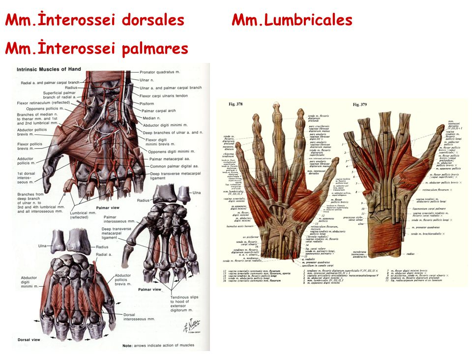 Mm.İnterossei dorsales Mm.Lumbricales