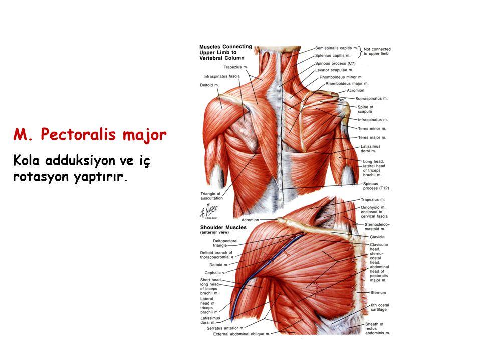 M. Pectoralis major Kola adduksiyon ve iç rotasyon yaptırır.