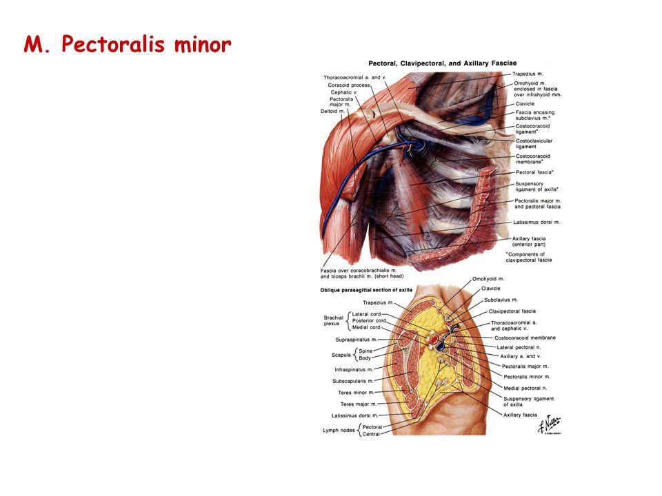 M. Pectoralis minor