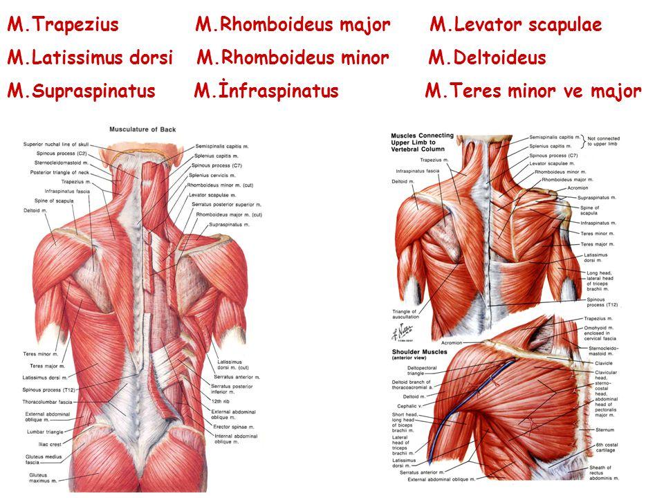 M.Trapezius M.Rhomboideus major M.Levator scapulae