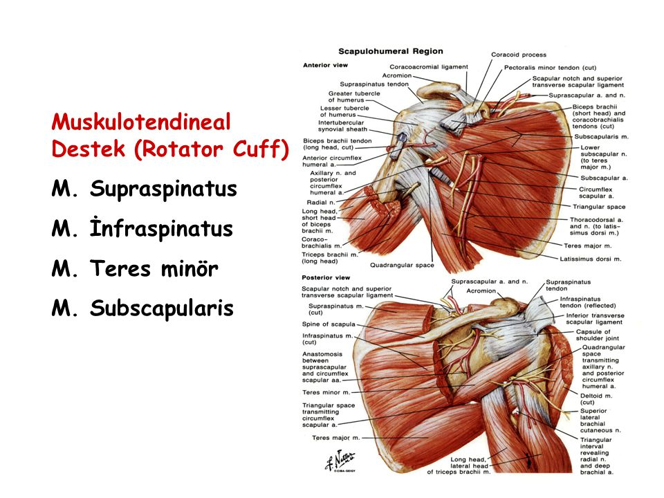 Muskulotendineal Destek (Rotator Cuff)