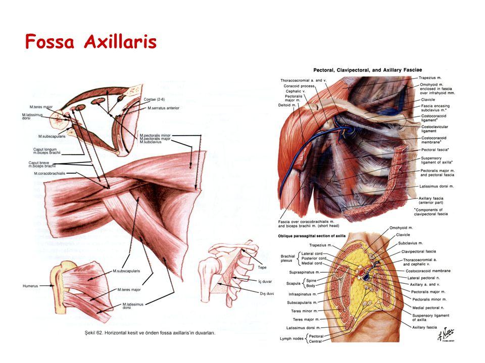Fossa Axillaris