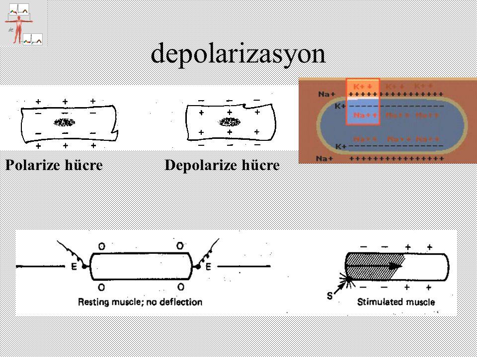 depolarizasyon Polarize hücre Depolarize hücre
