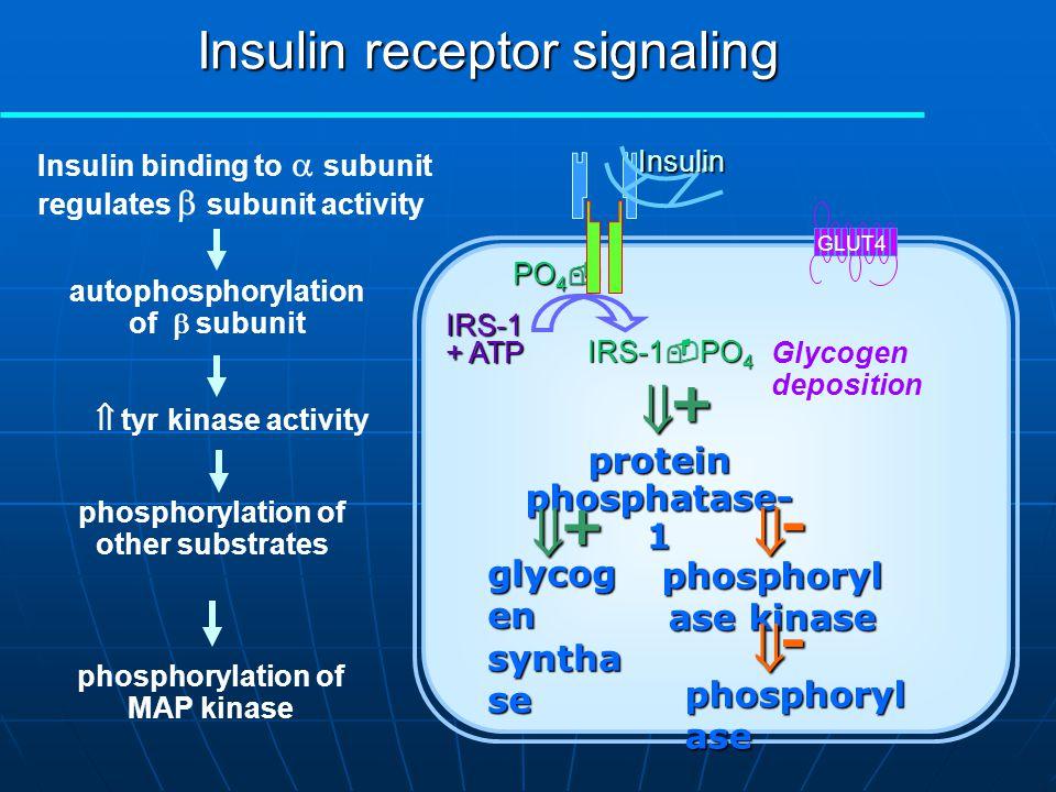 Insulin receptor signaling