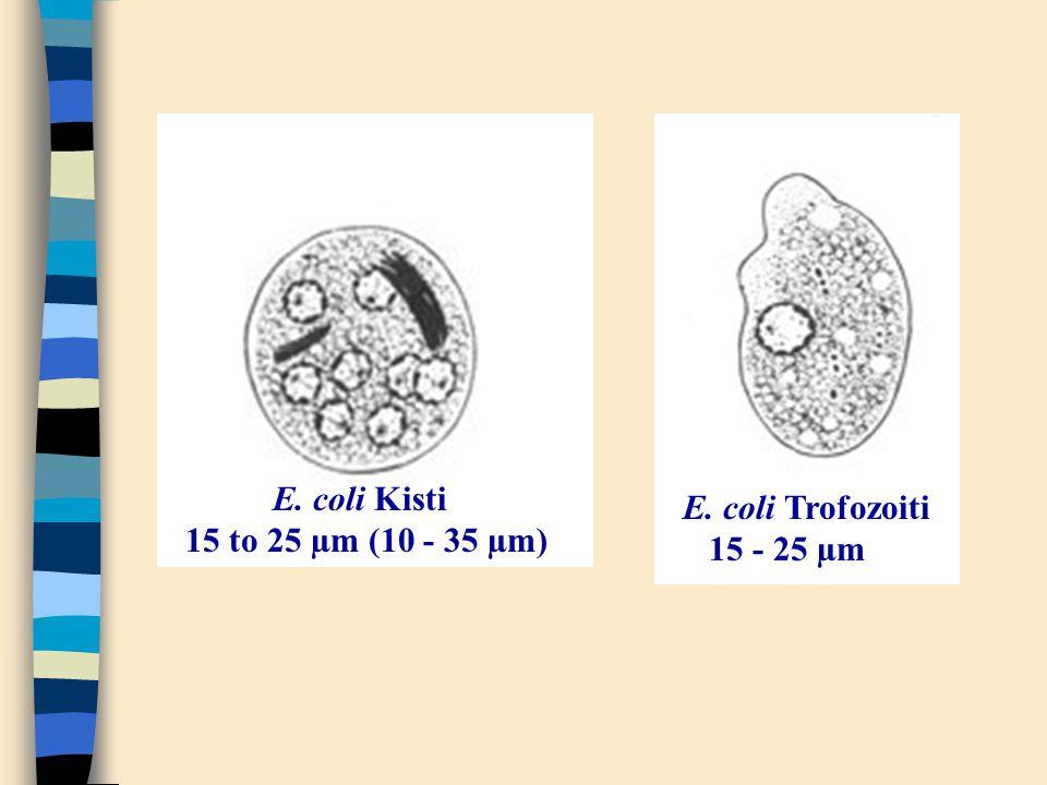 E. coli Kisti 15 to 25 µm (10 - 35 µm) E. coli Trofozoiti 15 - 25 µm