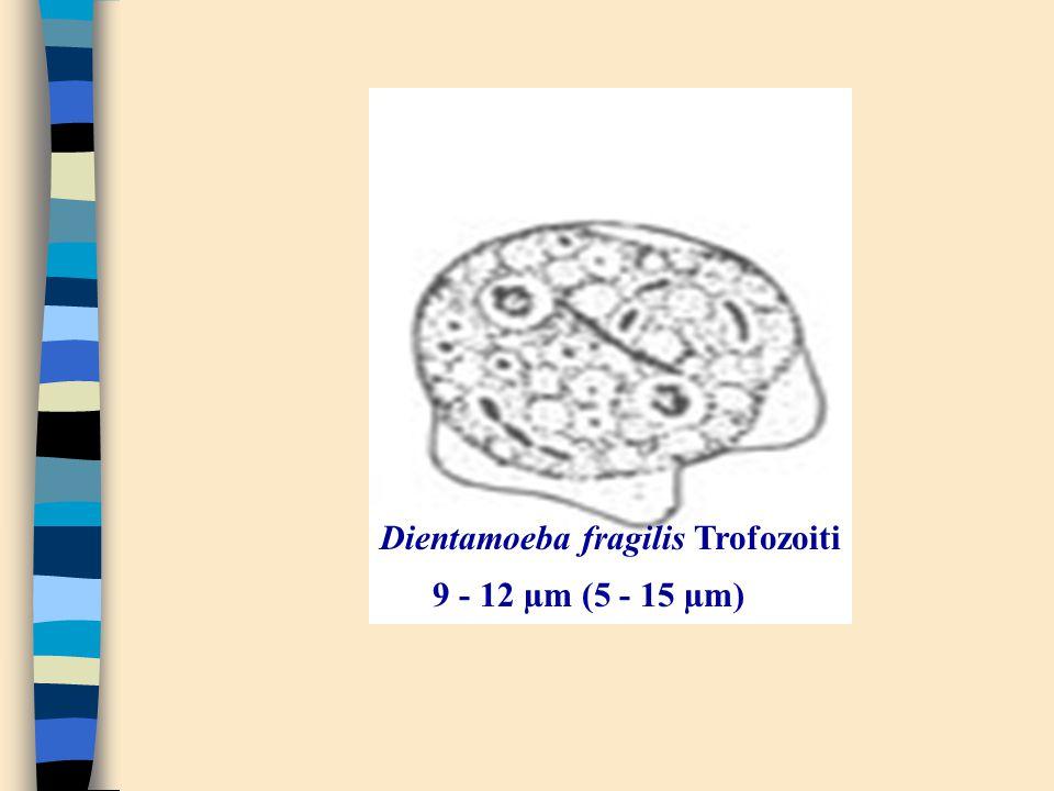 Dientamoeba fragilis Trofozoiti