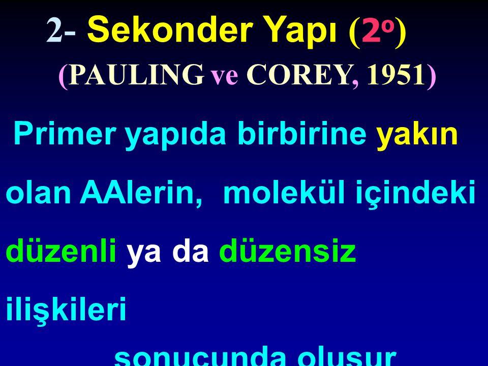 2- Sekonder Yapı (2o) sonucunda oluşur (PAULING ve COREY, 1951)