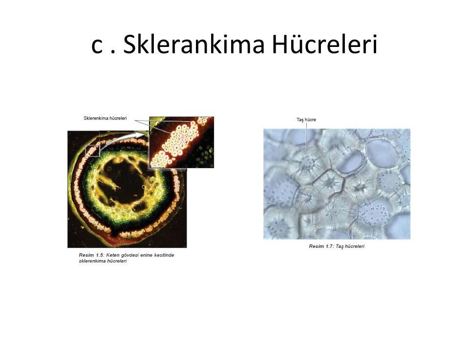 c . Sklerankima Hücreleri