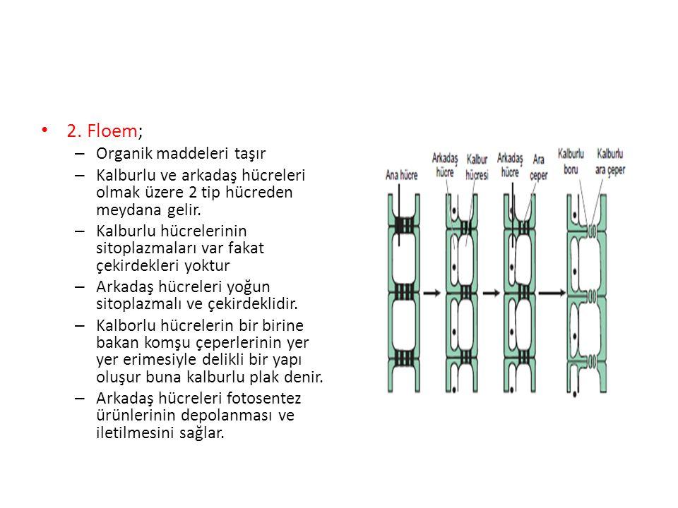 2. Floem; Organik maddeleri taşır