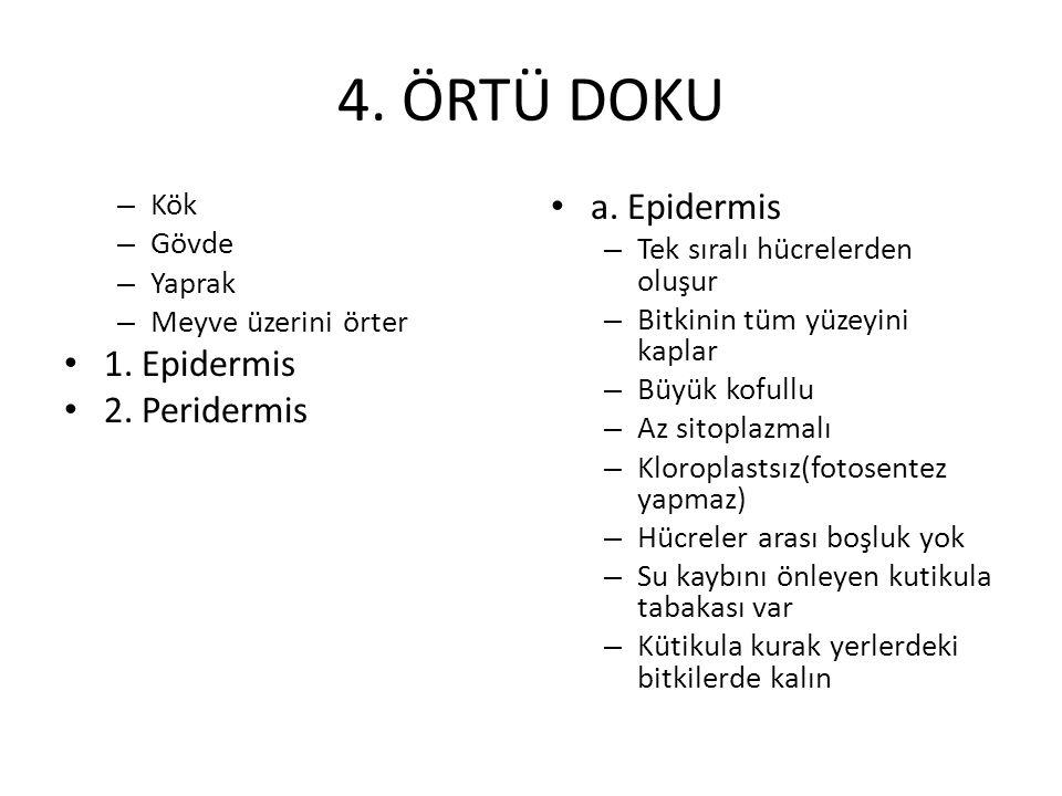 4. ÖRTÜ DOKU a. Epidermis 1. Epidermis 2. Peridermis Kök Gövde
