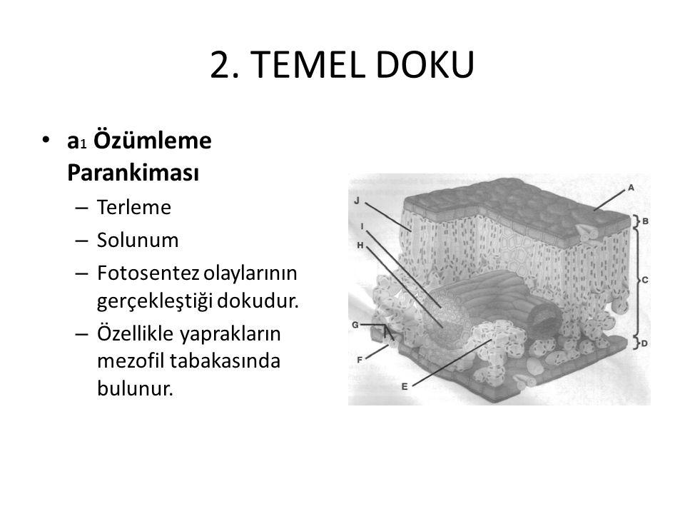 2. TEMEL DOKU a1 Özümleme Parankiması Terleme Solunum