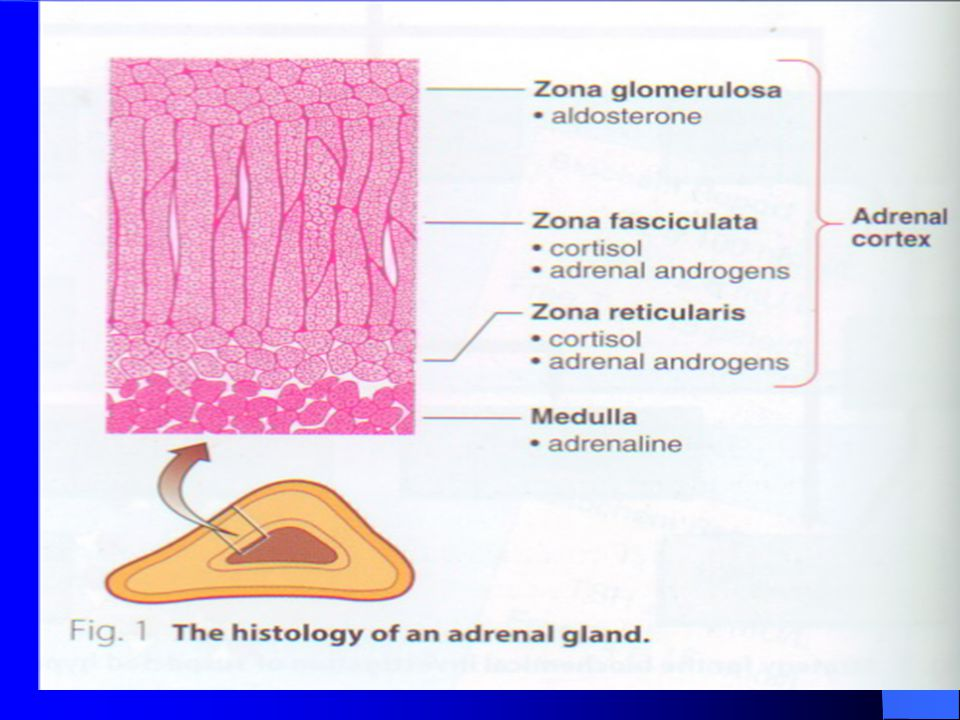 HORMONES OF THE ADRENAL KORTEX