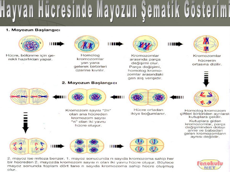 Hayvan Hücresinde Mayozun Şematik Gösterimi